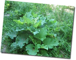 burdock_leaves_spring