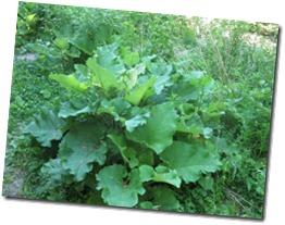 burdock_leaves_spring